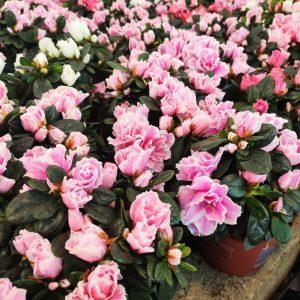 Външни цветя
